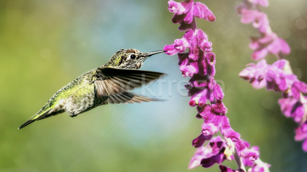 Anna's Hummingbird in Flight with Purple Flowers Stock photo © Backyard-Photography