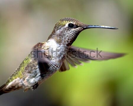 Beija-flor norte Califórnia EUA natureza Foto stock © Backyard-Photography