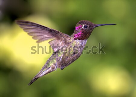 Hummingbird in Flight Stock photo © Backyard-Photography
