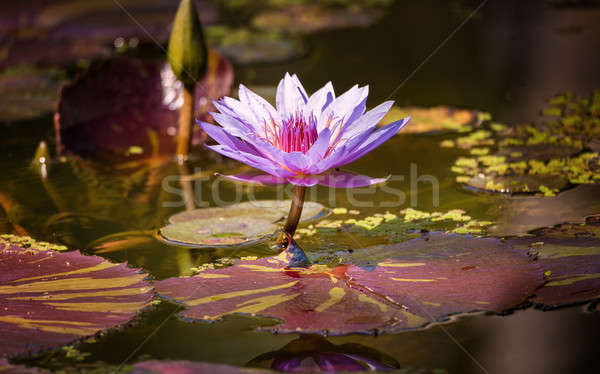 Water Lilly Blossom in Pond Stock photo © Backyard-Photography