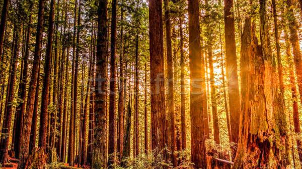 Redwood Forest Stock photo © Backyard-Photography