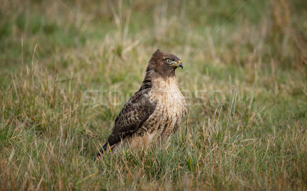 Wild Hawk in Nature Stock photo © Backyard-Photography