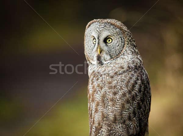 Baykuş doğa renkli görüntü kuzey Kaliforniya Stok fotoğraf © Backyard-Photography
