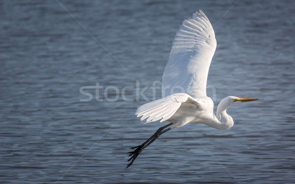Snowy Egret Flying Over a Lake Stock photo © Backyard-Photography