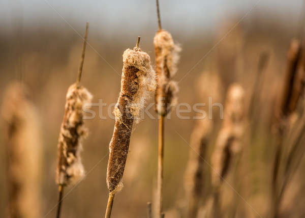 Cattails at a Marsh Stock photo © Backyard-Photography