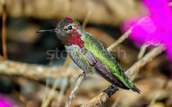 Kolibri Flug Farbbild Tag Natur Garten Stock foto © Backyard-Photography