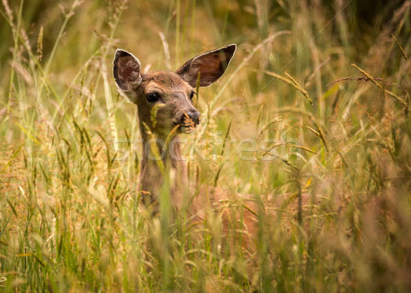 Stock photo: Deer Doe Standing in Tall Grass