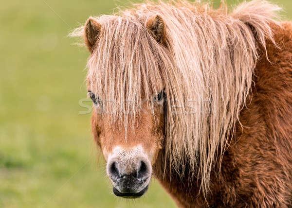 Mini cavalo olhando câmera em linha reta natureza Foto stock © Backyard-Photography