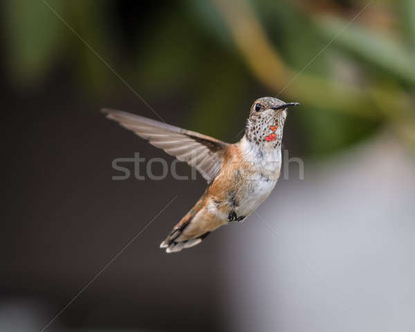 Anna's Hummingbird Stock photo © Backyard-Photography