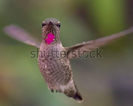 Beija-flor vôo imagem norte Califórnia Foto stock © Backyard-Photography