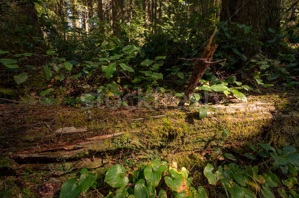 Fallen Redwood Tree in Northern California Forest Stock photo © Backyard-Photography