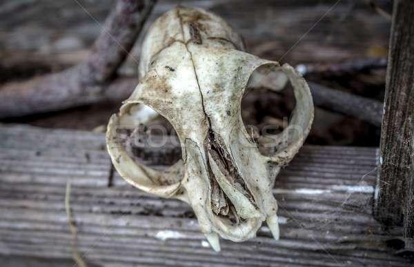 Animal Skull Stock photo © Backyard-Photography