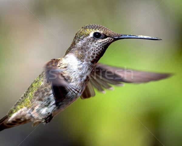 Anna's Hummingbird in Flight Stock photo © Backyard-Photography