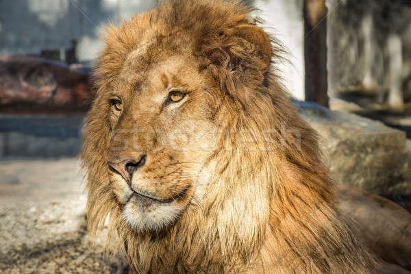 Lion Portrait, Color Image Stock photo © Backyard-Photography