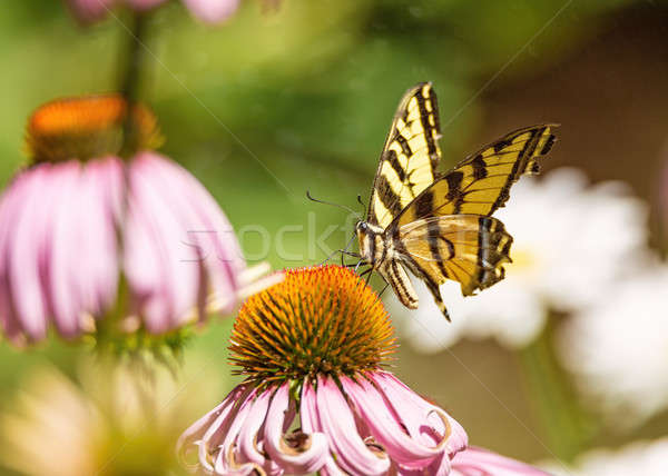 Yellow and Black Monarch Butterfly on a Flower Stock photo © Backyard-Photography