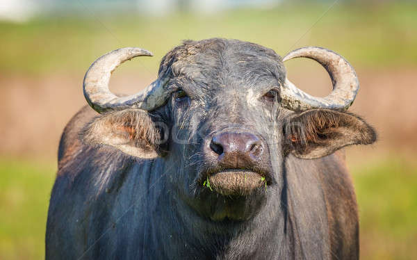 Water Buffalo Looking at the Camera Stock photo © Backyard-Photography