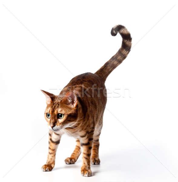 Bengal Tiger Cat staring at invible object Stock photo © backyardproductions