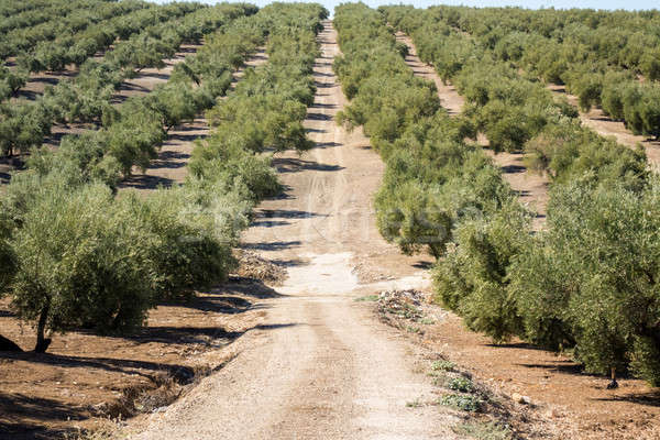 Stock photo: Olive trees reaching to horizon in Andalucia