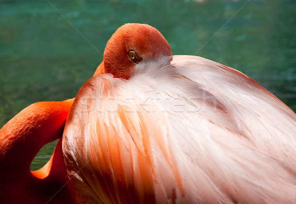 Oka Czerwonak obraz różowy głowie Zdjęcia stock © backyardproductions