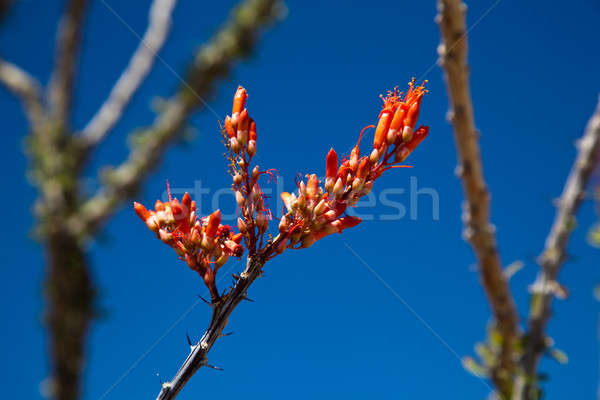 Crimson flowers of the Ocotillo cactus Stock photo © backyardproductions