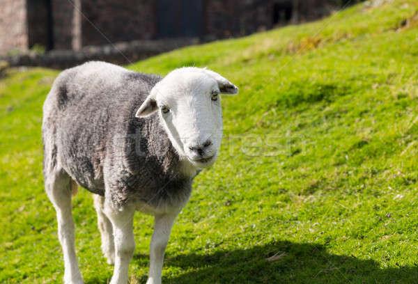 Sheep curious stare at camera Stock photo © backyardproductions