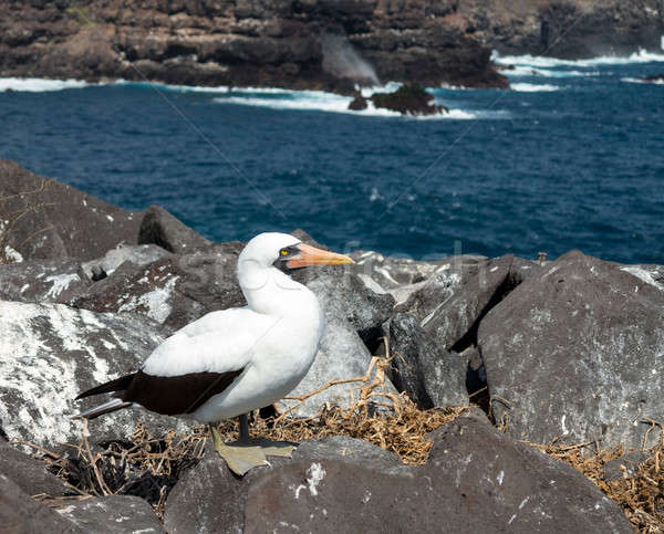Curious nazca booby seabird on Galapagos Stock photo © backyardproductions