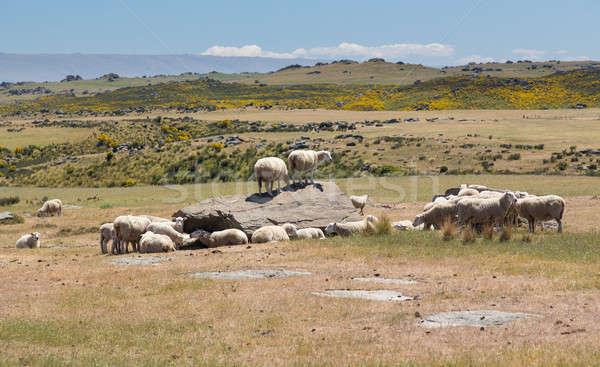 Sheep grazing on rocky land in New Zealand Stock photo © backyardproductions