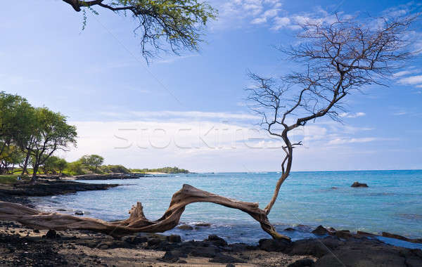 Gnarled tree frames an ocean bay Stock photo © backyardproductions