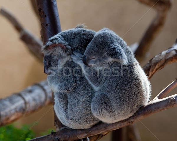 Koala rama australiano bebé Foto stock © backyardproductions