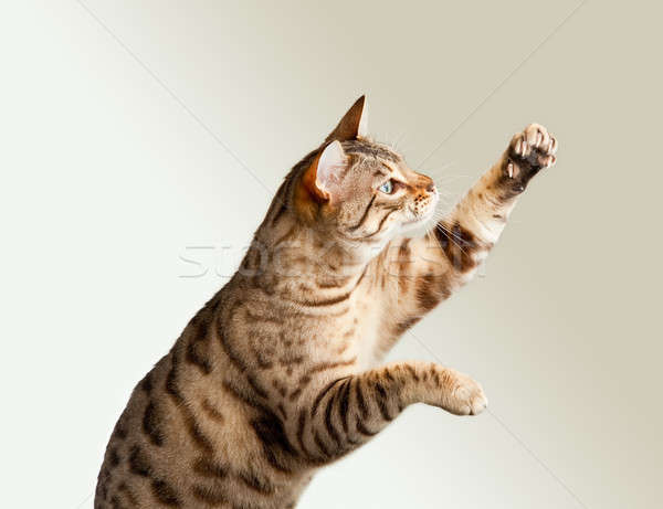 Bengal kitten stretching its claws Stock photo © backyardproductions