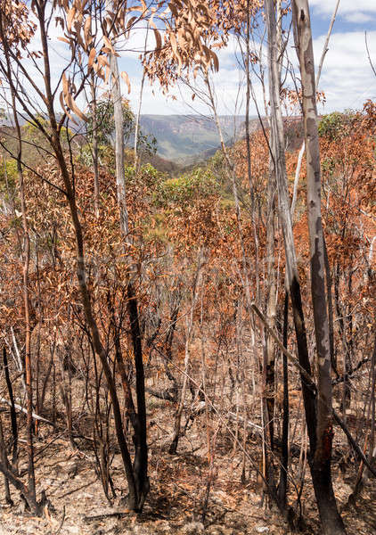 Charred trees in Blue Mountains Australia Stock photo © backyardproductions