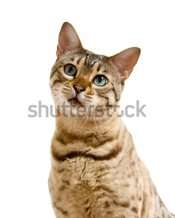 Cute Bengal kitten looks pensively at camera Stock photo © backyardproductions