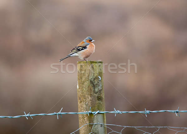 Stock photo: Bullfinch perched on fence