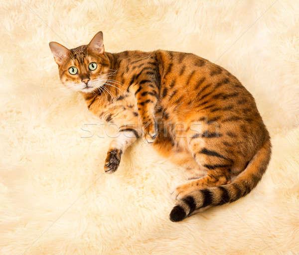 Orange brown bengal cat on wool rug Stock photo © backyardproductions