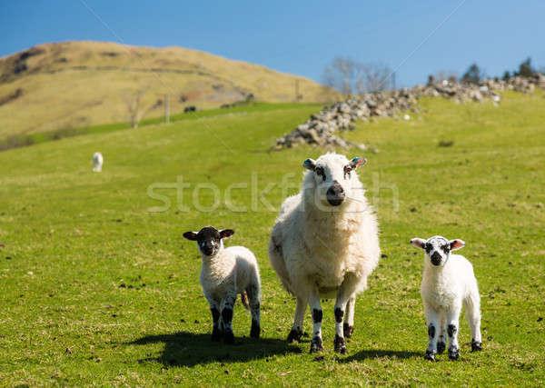 Sheep and lambs in welsh mountain farm Stock photo © backyardproductions