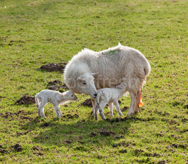 Foto stock: Novo · nascido · cordeiro · mãe · par