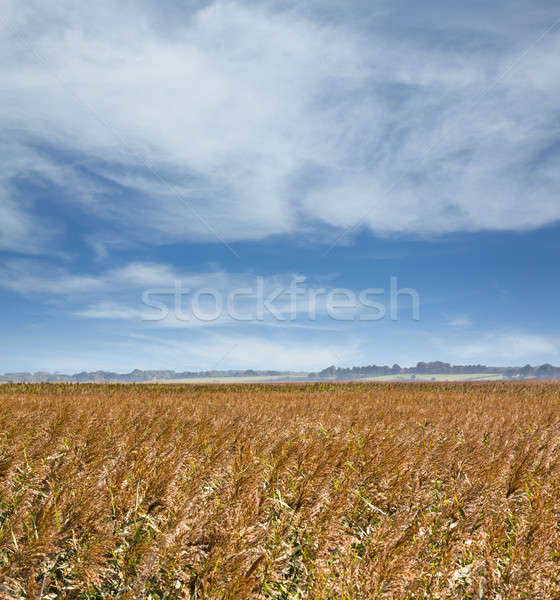 Field of Barley in Suffolk Stock photo © backyardproductions
