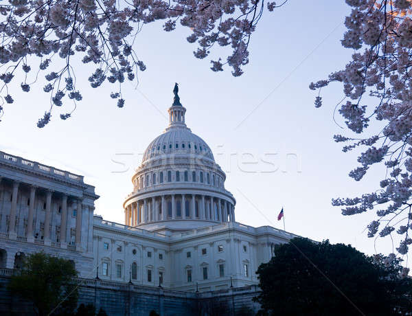 Sunrise at Capitol with cherry blossoms framing the dome Stock photo © backyardproductions