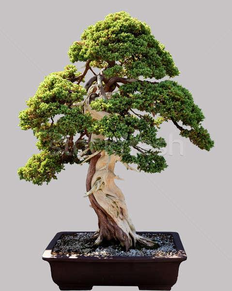 Японский бонсай дерево банка изолированный миниатюрный Сток-фото © backyardproductions