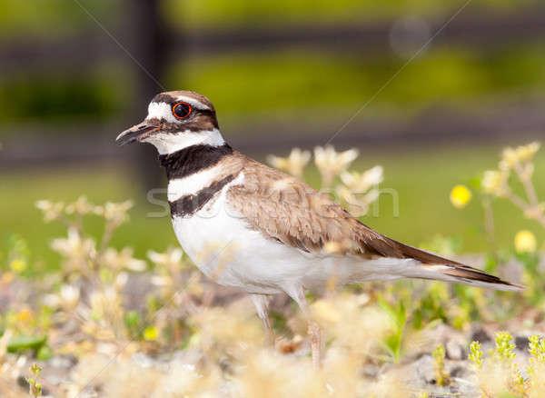 Killdeer bird defending its nest Stock photo © backyardproductions