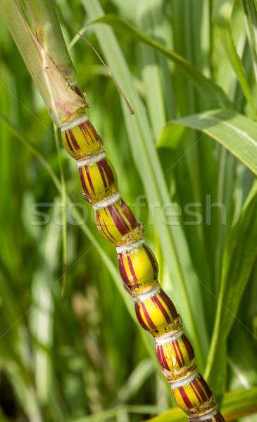 Photo stock: Canne · usine · croissant · plantation · insolite · rouge