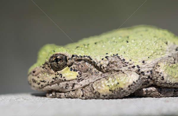 Narrow focus on eye of bullfrog or frog Stock photo © backyardproductions