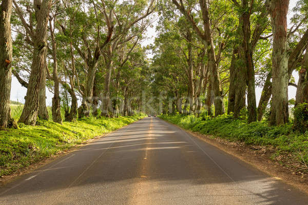 Famous Tree Tunnel of Eucalyptus trees Stock photo © backyardproductions