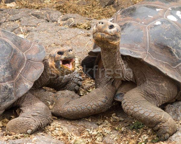 Pair of large Galapagos giant tortoise Stock photo © backyardproductions