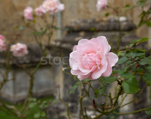 Pink rose in graveyard in Bibury Stock photo © backyardproductions