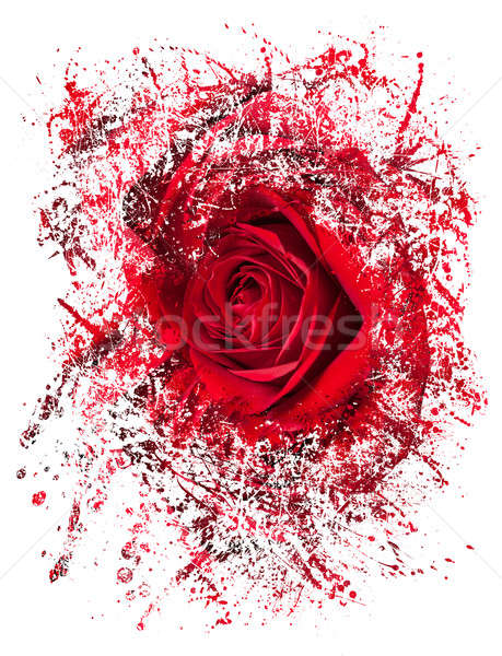 Close up of red rose exploding Stock photo © backyardproductions