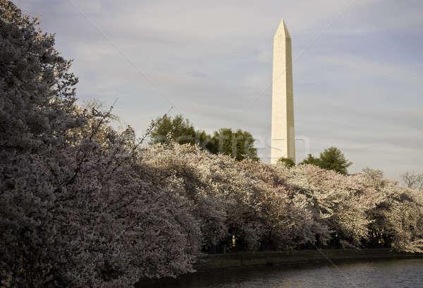 Cherry Blossoms underpinning Washington Monument Stock photo © backyardproductions