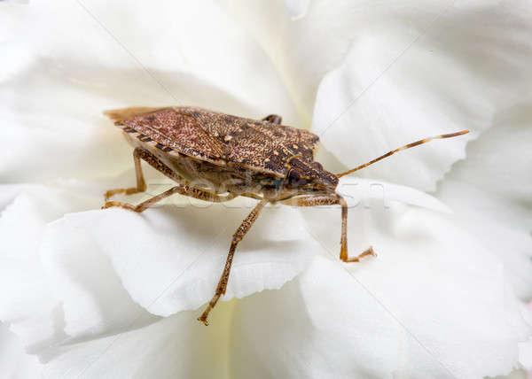Stink or shield bug on carnation Stock photo © backyardproductions