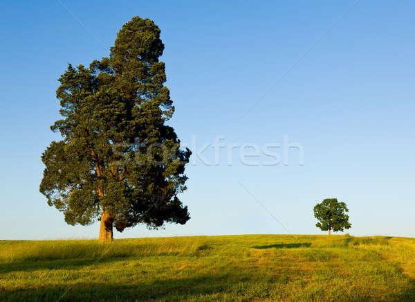 Nagy fa kicsi domboldal fenyőfa Stock fotó © backyardproductions