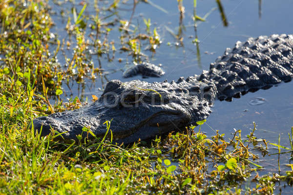 Close up of alligator in Everglades Stock photo © backyardproductions